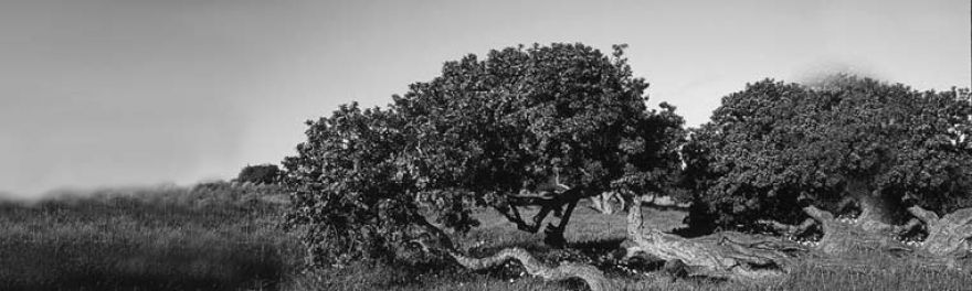 The Mastiha Tree